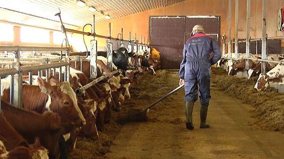 Kuvassa lehmiä ja navetassa työskentelevä viljelijä