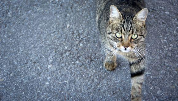 Lähikuvassa seisova kissa.