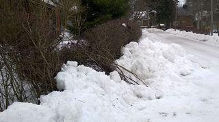 Lumityökoneen jäljilta kaatunutta pensasaitaa katuvarressa.