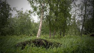 Salomo-myrskyn kaatama koivu nojaa toiseen puuhun.
