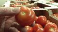 Käsi pitelee tomaattia, taustalla näkyy useita laatikollisia tomaatteja.