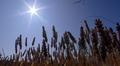 Aurinko paistaa ja vehnäsato kypsyy.