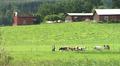 Lehmiä ja ihmisiä pellolla.