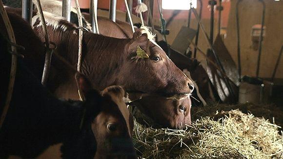 Lehmiä syömässä heinää navetassa.