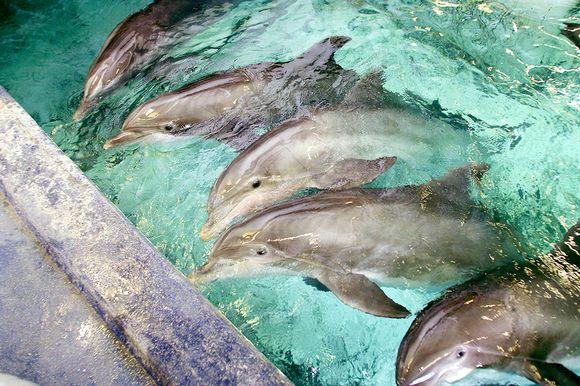 Delfiinejä Särkänniemen delfinaariossa Tampereella. Kuva on otettu vuonna 2010.