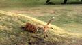 Video: Ketut leikkivät Ylen pihalla.