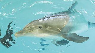 Särkänniemen Näsi-delfiini.