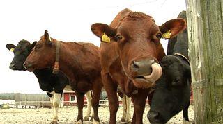 Maitotila, lehmä