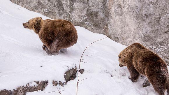 Korkeasaaren karhut ovat heränneet talviuniltaan.