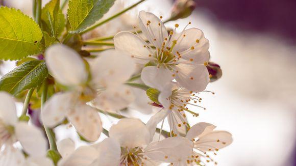 Kirsikka kukkii.