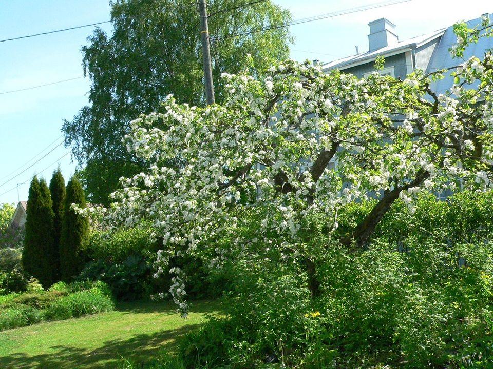 Omenapuun istukas