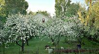 Omenapuut kukkivat puutarhassa.