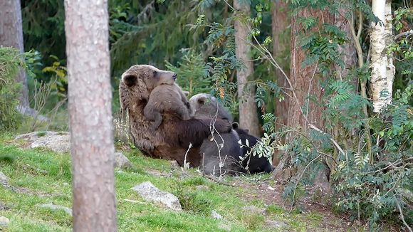 Video: Karhu imettää pentuja.