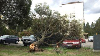 Puu kaatuneena autojen päälle.