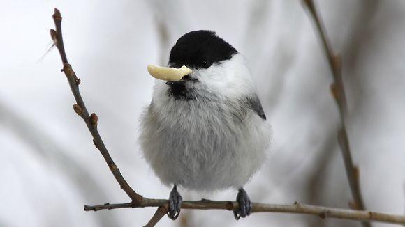 Tiainen Lintu