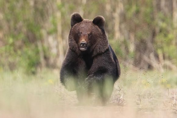 karhu juoksee kohti kuvaajaa