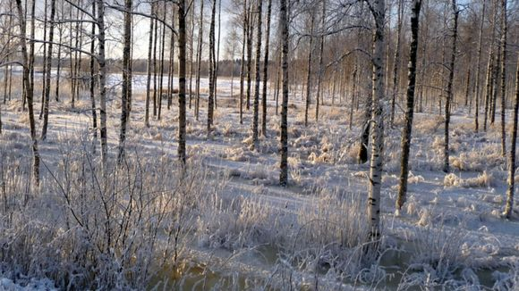 Talvinen tulva rantametsässä.