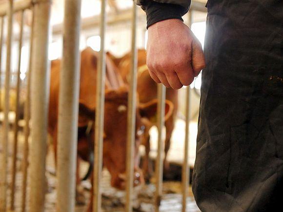 Nyrkki ja lehma