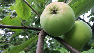Omenoita puussa.