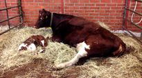 Lehmä ja vasikka makaavat parressa.