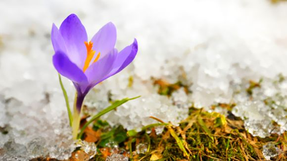 Keväinen kukka. Lumi sulaa kukan ympäriltä.