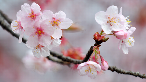 Kirsikkapuiden kukinta käynnisti kevään Tokiossa | Yle Uutiset | yle.fi
