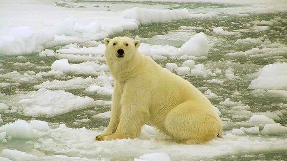 Jääkarhu jäälautalla Barentsinmerellä.
