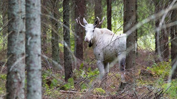 Valkoinen hirvi metsässä.