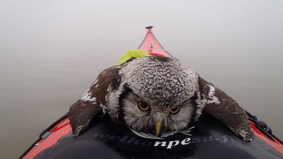 Pöllö kanootin nokalla.