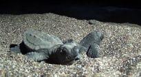 Video: Vastakuoriutuneita valekarettikilpikonnan poikasia rannalla.