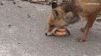 Video: Toimittajien Tshernobylin alueella kohtaama kettu syömässä toimittajien sille syöttämiä leipiä.