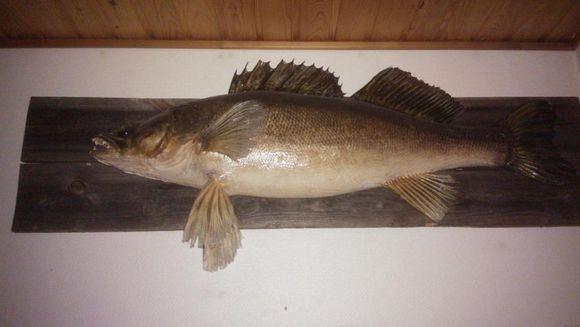 11-kiloinen kuha seinällä