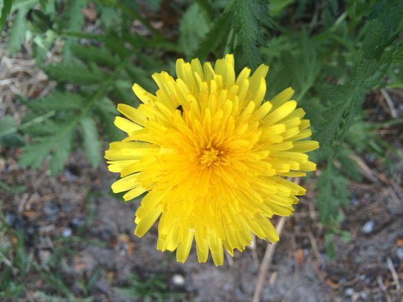 Voikukka kukkii jo toukokuussa.