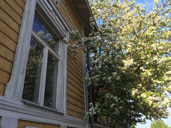Mikkelissä syreeni kukkii jo toukokuussa