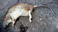 Rotta; kuollut rotta; rottaongelma