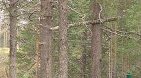 Sodan aikainen hirttopuu Kuusamon golfradan varrella