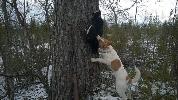 Koira hamuilee teertä Kuusamossa.