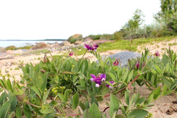 Merinätkelmä kukassa saaressa Raahen edustalla.