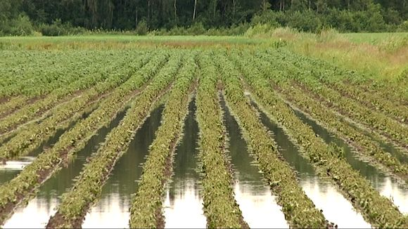 flooded potato fields