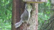 Liito-orava kiipeää puunrunkoa pitkin pesään.
