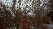 Omenapuuhun on jäänyt paljon omenoita.