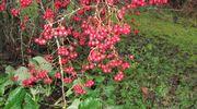 Orapihlajan punaiset marjat ja pudonneet lehdet.