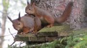 Kaksi oravaa pesäpöntön katolla.