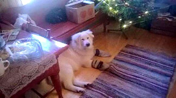 Jalmari-koira kotona löytymisen jälkeen.