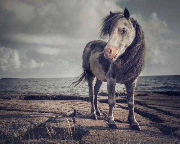 Johanna Sjövallin kuva minihevosesta rannalla