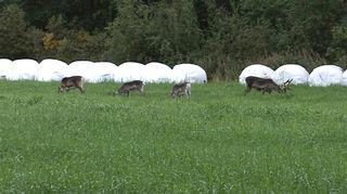 Poroja pellolla