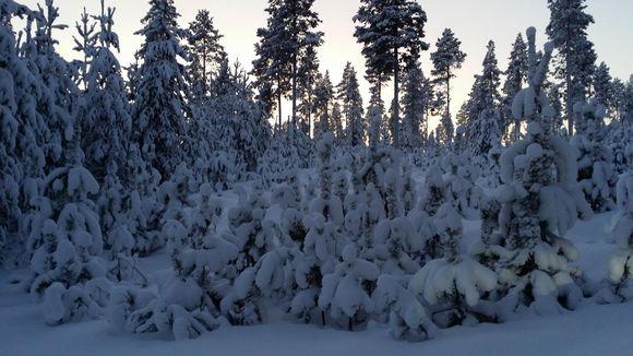 Audio: Kova pakkanen vaatii puun taimilta sietokykyä.