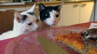 Kissat tuijottavat kakkua