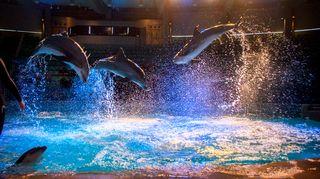 Delfiinejä hyppäämässä esityksessä