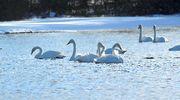 Joutsenia järvellä
